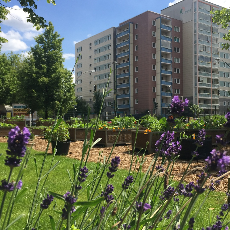 Im Sommer steht der Lavendel im Stadtgarten in der Köpenicker Straße in voller Blüte
