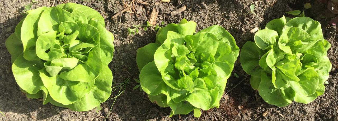Frisch und knackig: Salat gedeiht auf den Böden der Stadtgärten prächtig