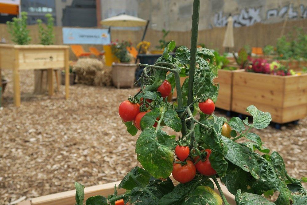 In den Stadtgärten von Vattenfall wird viel Essbares angebaut