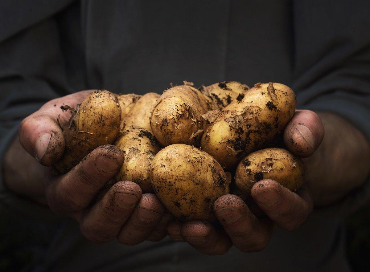 Wer jetzt pflanzt, kann sich im Herbst über leckere Kartoffeln freuen
