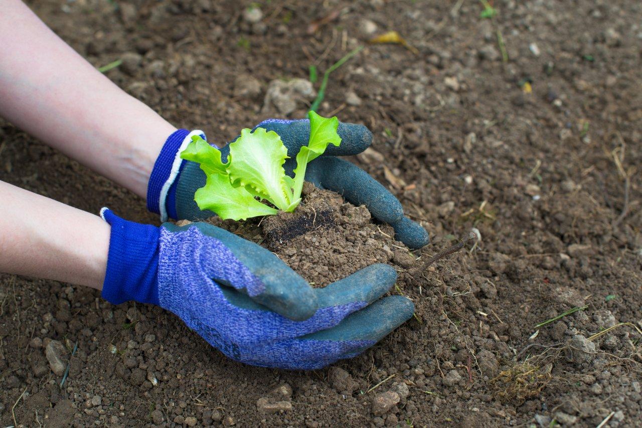 Noch nicht zu spät: Gerade Salat lässt sich auch jetzt noch prima großziehen