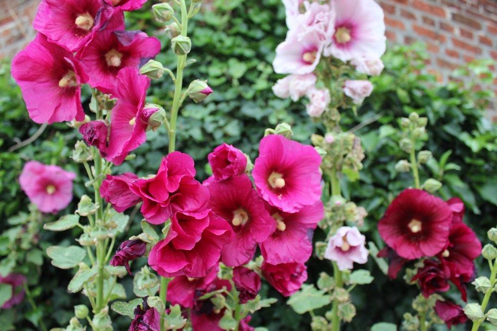Stockrosen sind ein typisches Beispiel für zweijährige Sommerblumen.
