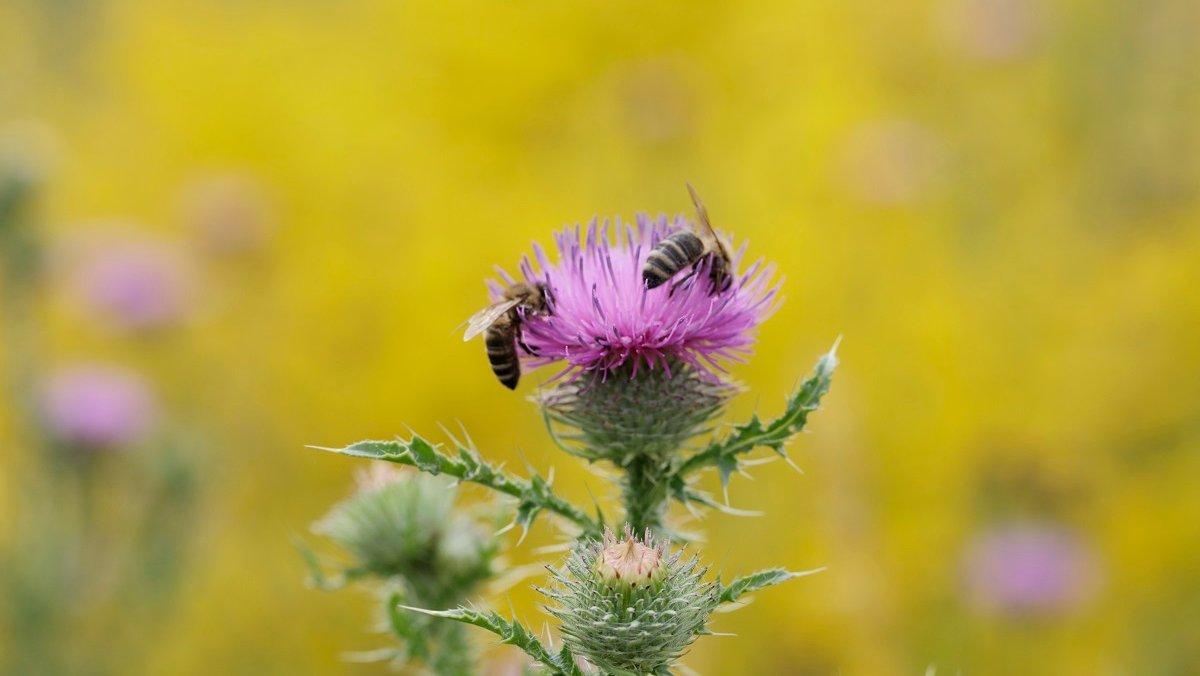 Wer einen Beitrag zum Erhalt von Bienen leisten möchte, wählt für Balkon und Garten bienenfreundliche Pflanzen