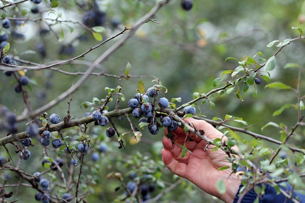 Wildobststräucher wie die Schlehe sind ein schöner Hingucker im Garten. Die Beeren müssen vor dem Genuss jedoch erst gekocht werden.