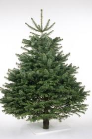 Weihnachtsbaum Fällen.Das Rät Der Experte Für Den Perfekten Weihnachtsbaum Berlin