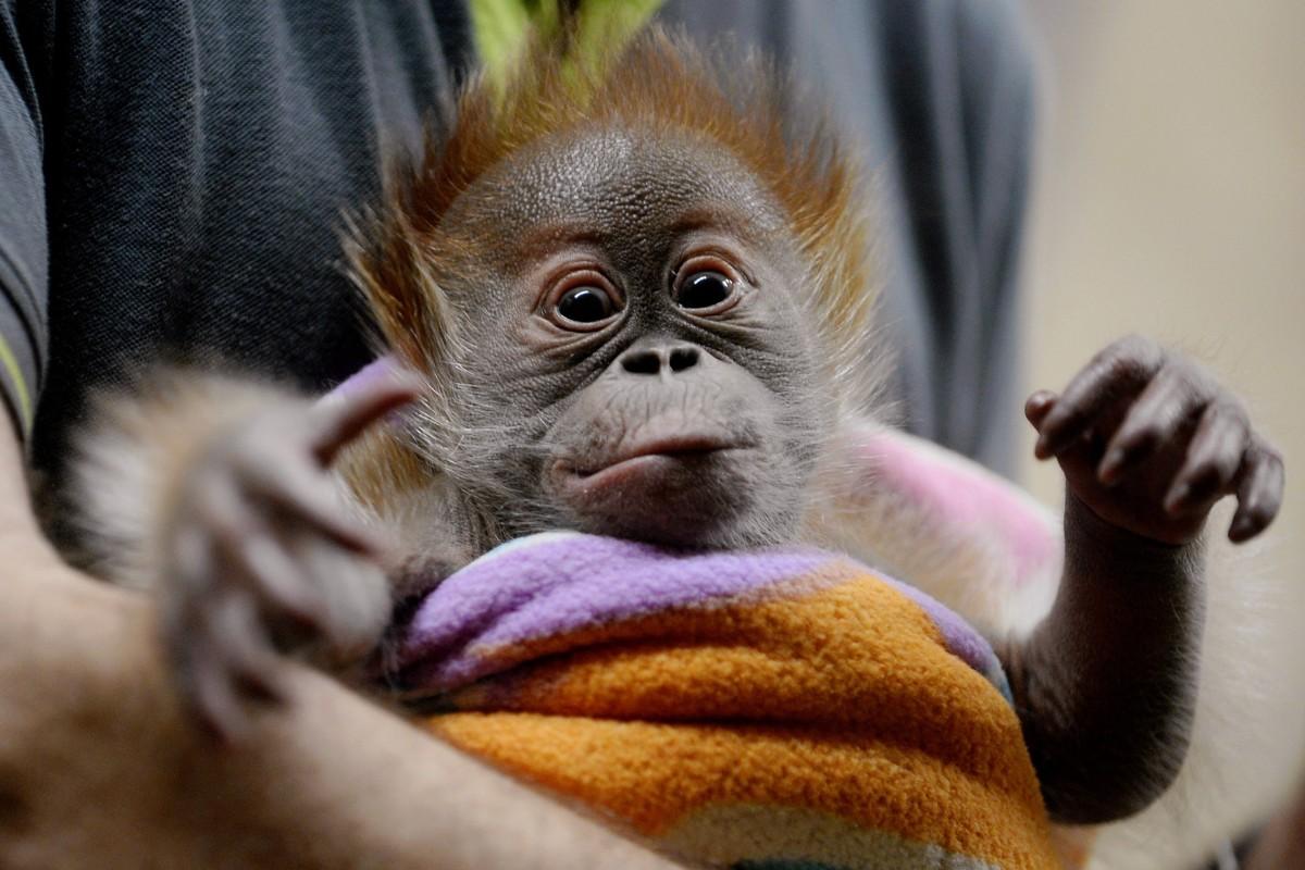 Berliner verabschieden sich von Orang Utan Baby Rieke