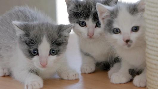 Katzenbabys sind zwar niedlich, doch die unkontrollierte Vermehrung streunender Tiere, bringt viele Vierbeiner in Not