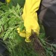 Fieses Kraut: Nur ein Drittel der gefundenen Ambrosia-Pflanzen wurde entfernt