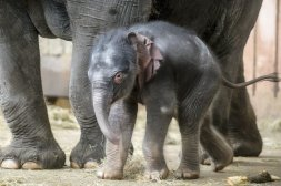 """Auch Elefantenbaby Edgar, Publikumsliebling im Tierpark, kann am Sonntag dank kostenlosem Eintritt in Friedrichsfelde besucht werden  Berlins Regierender Michael Müller hat sich für 11 Uhr zum """"Antrittsbesuch"""" bei dem Dickhäuter  angemeldet."""