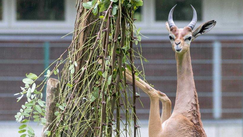 r u00e4tseln  u00fcber gazellen