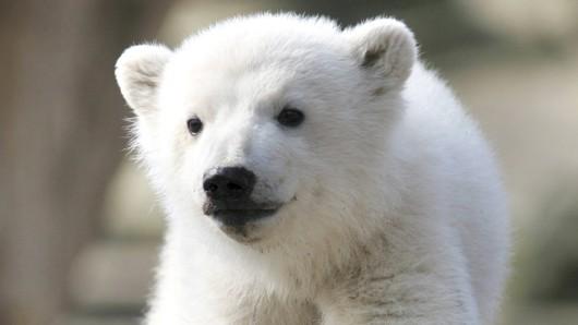 Knut kam am  5. Dezember 2006 im Zoologischen Garten Berlin zur Welt. Der Eisbär wurde nur fünf Jahre alt