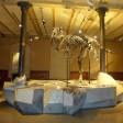 Der Tyrannosaurus Rex Tristan Otto im Naturkundemuseum