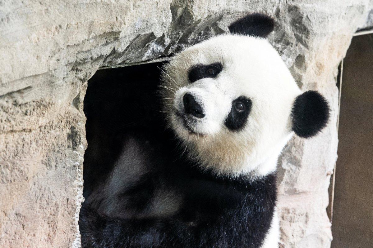 Warten auf das Pandababy – ab sofort hinter den Kulissen