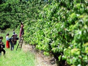 Kirschenpflücken in Neumanns Erntegarten in Bornim bei Potsdam: Gesunde Ernährung, ein schöner Ausflug – und man lernt auch Spannendes dazu.