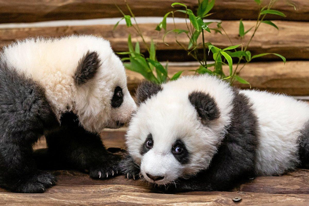 Panda-Babys im Berliner Zoo: Wann man sie sehen kann