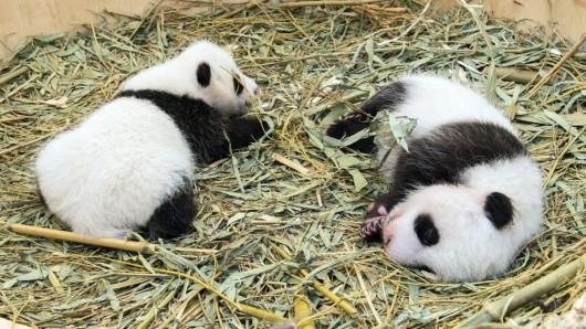 Panda-Zwillinge im Wiener Zoo. Bald bekommt auch der Berliner Zoo Nachwuchs.