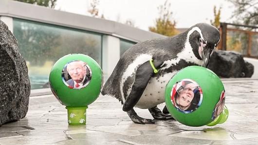 Pinguin-Orakel Flocke sagt den Sieg von Hillary Clinton bei der US-Wahl voraus