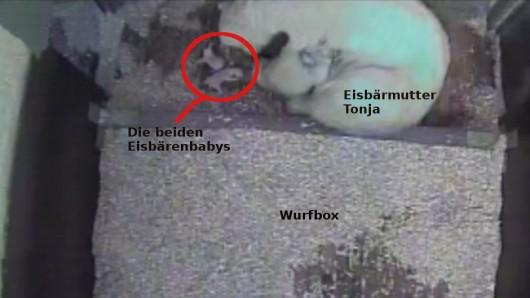 Im Berliner Tierpark wurden zwei Eisbären-Babys geboren