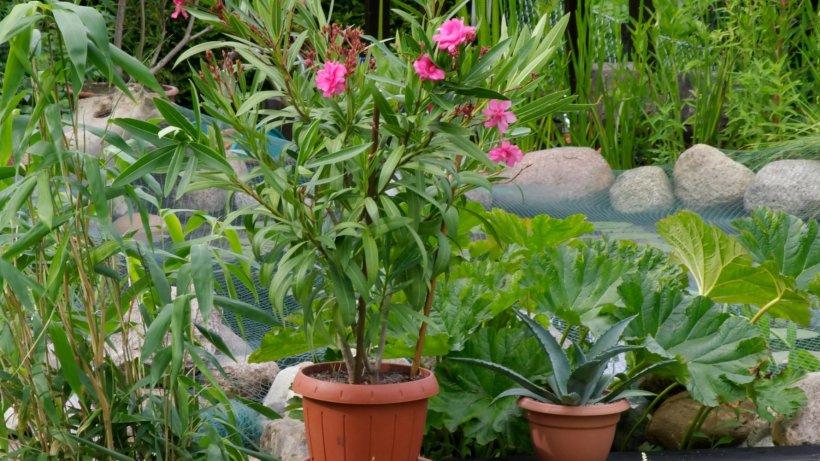 garten sollte ich meine oleander jetzt noch umtopfen. Black Bedroom Furniture Sets. Home Design Ideas
