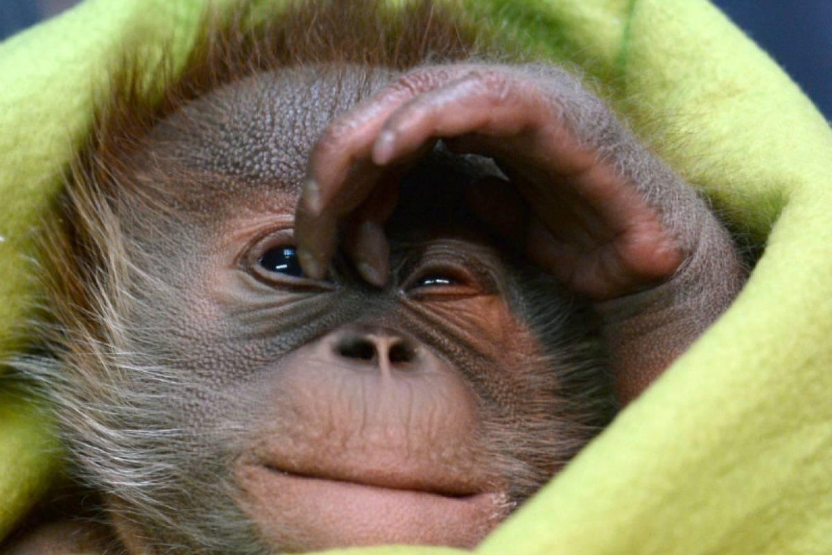 Orang Utan Baby Rieke sagt bald Tschüß Berliner Morgenpost