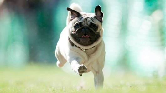 Ein Mops rennt ohne Leine. Ist der Hund kleiner als 30 Zentimeter, darf er auch in Zukunft frei laufen