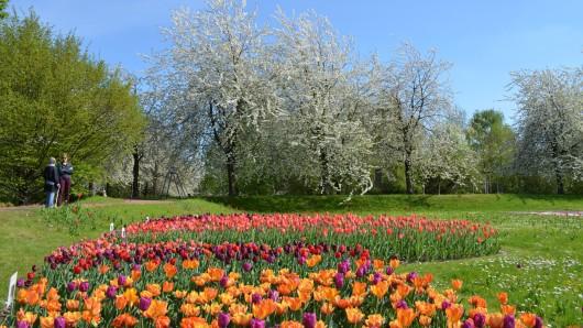 Tulpen- und Kirschblüte im Britzer Garten