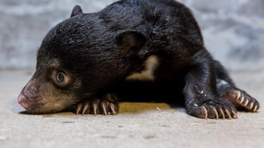 Im Berliner Zoo lebt ein kleinerLippenbär.