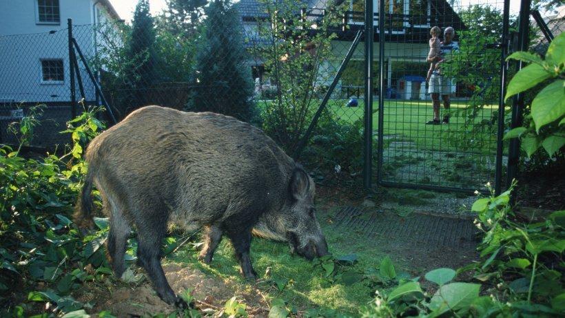 wildschweine kleinmachnow