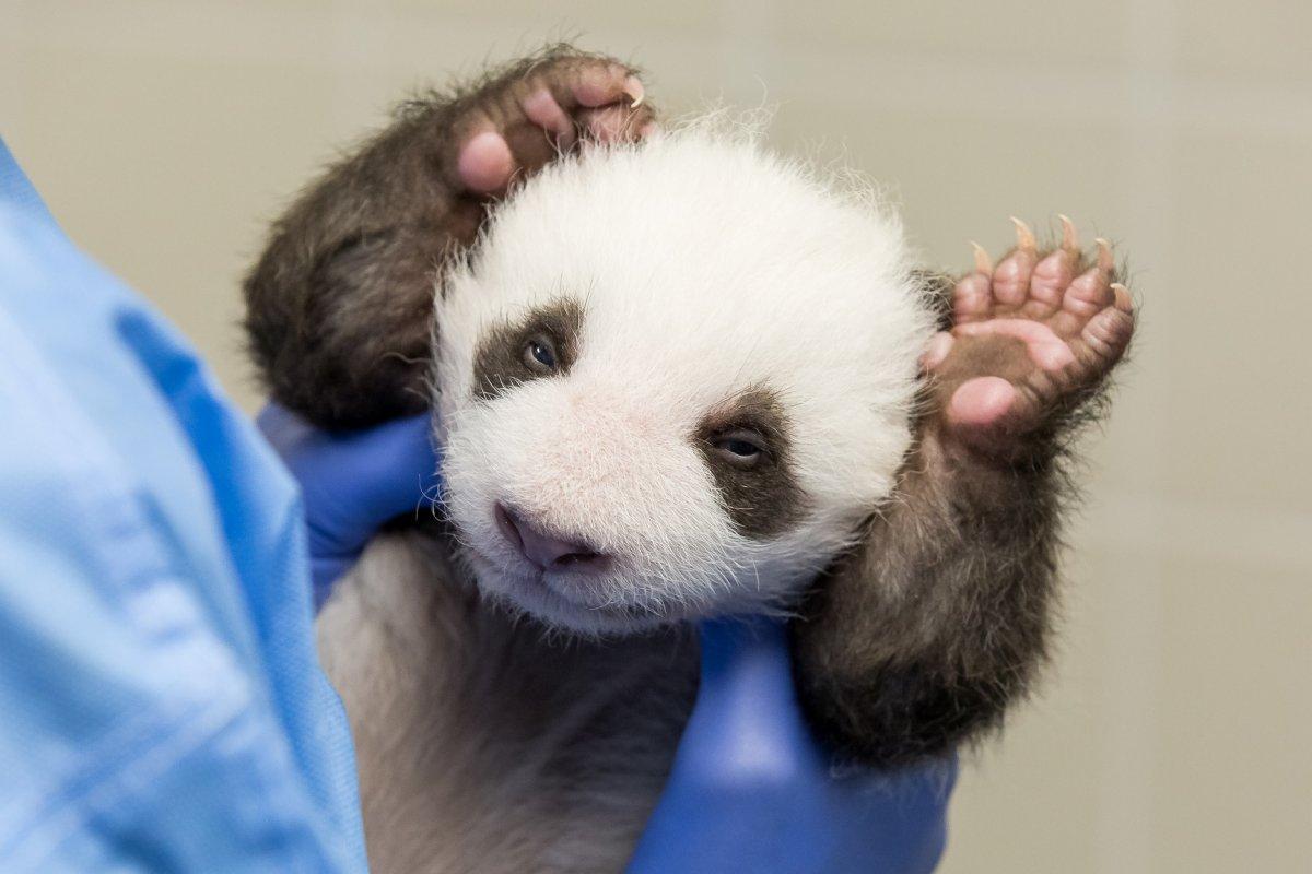 Hallo Berlin! So süß schauen die Panda-Babys vom Zoo Berlin in die Welt