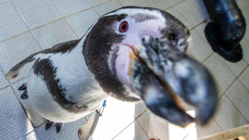 Pinguine trainieren für die Wissenschaft: Fit für Hörtests