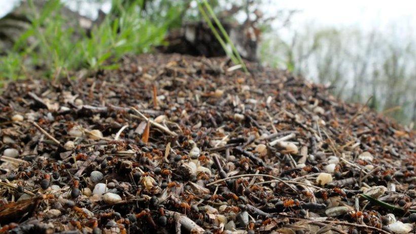 Tesla-Fabrik: Ameisenhügel werden umgesiedelt
