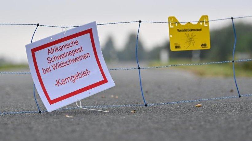 Fester Zaun kommt: Schweinepest bereits früher eingeschleppt