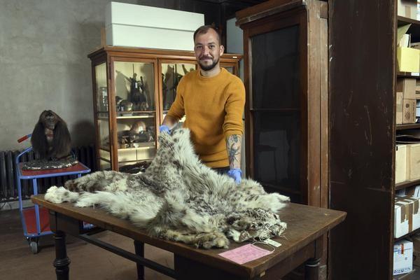 Steffen Bock, Konservierungswissenschaftler und Koordinator des Fellforschungsprojekts zeigt ein Fell eines Schneeleoparden, das Alexander von Humboldt 1829 von einer Expedition nach Sibirien mitbrachte.