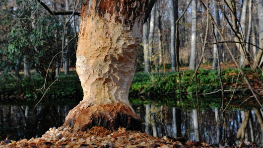 Im Tiergarten tut sich ein Biber an den Bäumen gütlich und hinterlässt typische Fraßspuren
