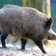 Ein Wildschwein  in einem  im Wildpark (Archivbild)