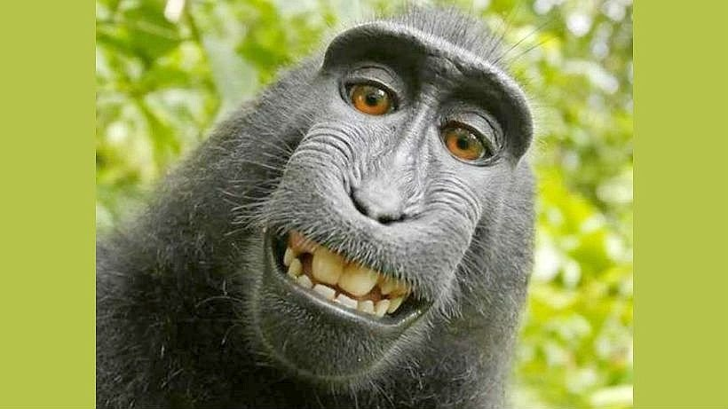 affe bekommt kein urheberrecht an seinem selfie