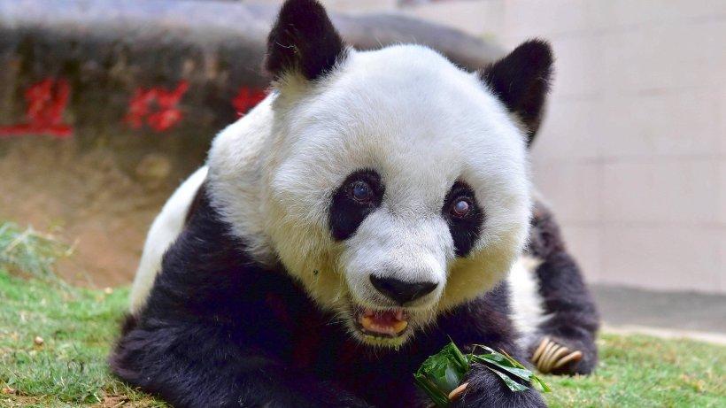 panda krankheit