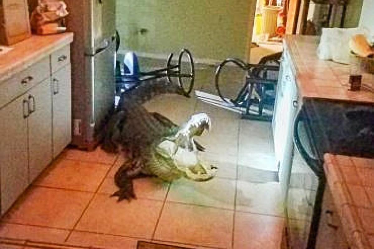Schockierende Begegnung: Alligator sitzt in Küche - Berliner