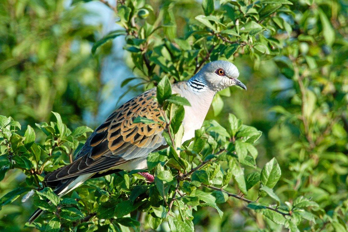 Vogel des Jahres 2020: Turteltaube auch als Liebessymbol bekannt