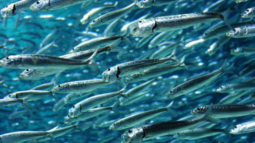 sardinen verschwinden aus dem nordpazifik