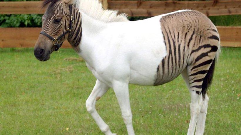 halb zebra - halb pferd - wissen