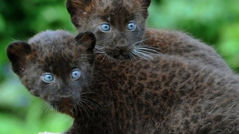 bei leoparden dominiert gelb - laninger